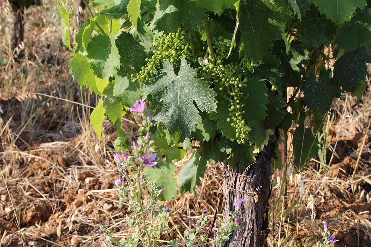 Souche de vigne de notre domaine bio, avec grappe de raisin en formation