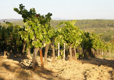 Vigne bio sous le soleil