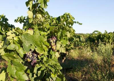 Une vigne bio